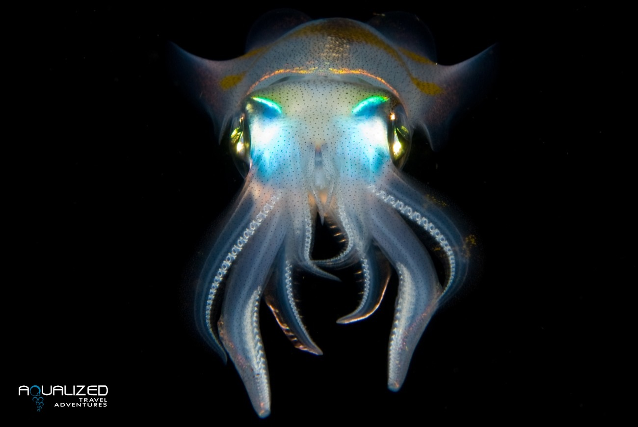 squid.jpg (1300×870) | omg cute | Pinterest | Creatures for bioluminescent cuttlefish  165jwn