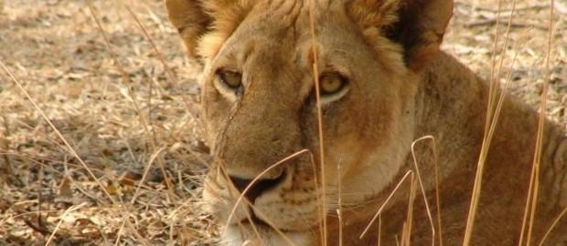 lion10001