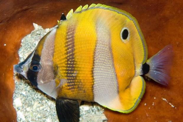 butterfly fish eye