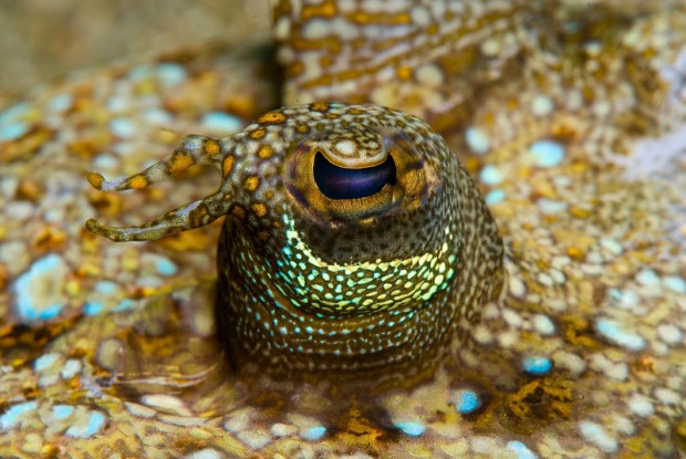 flounder eye
