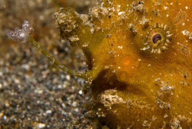 frogfish eye