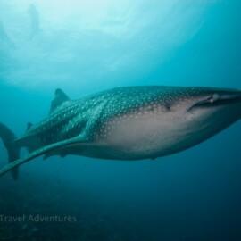 whaleshark/φαλαινοκαρχαρίας